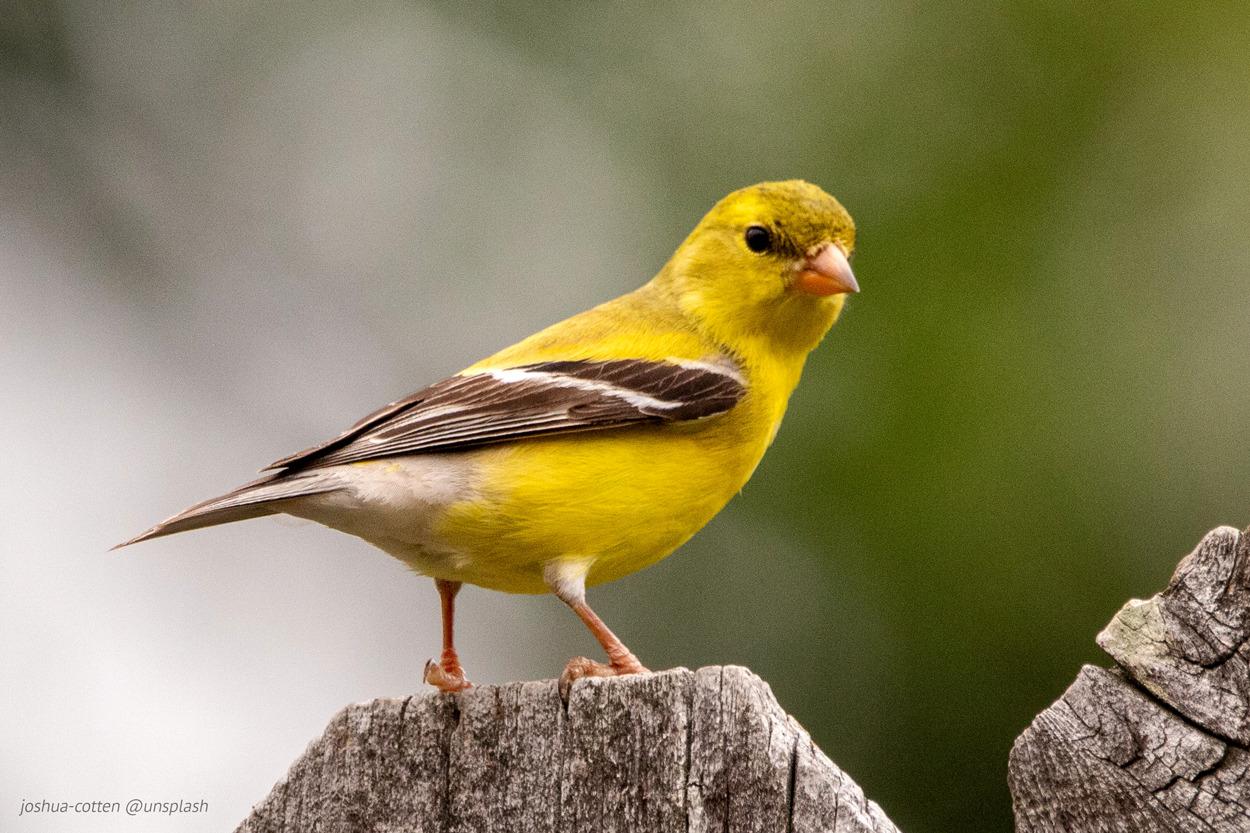 gelber Vogel auf einem Ast, dreht das Köpfchen zur Kamera, als wenn es den Fotografen ermahnt